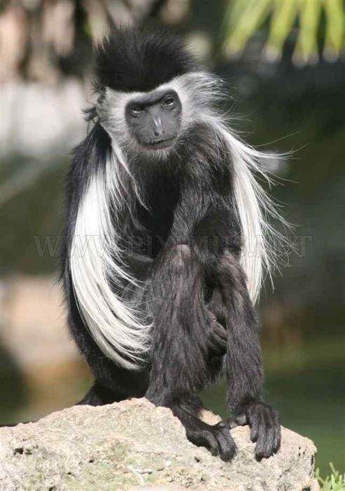 Black And White Colobus Monkey Black And White Colobus