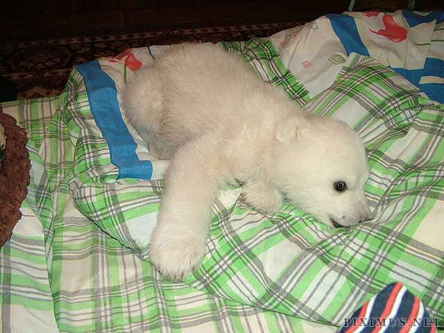 Polar Bear Cub Rescued