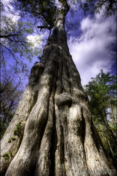 World's 5th Oldest Tree Destroyed by Fire