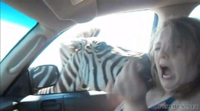 Zebra vs Girl