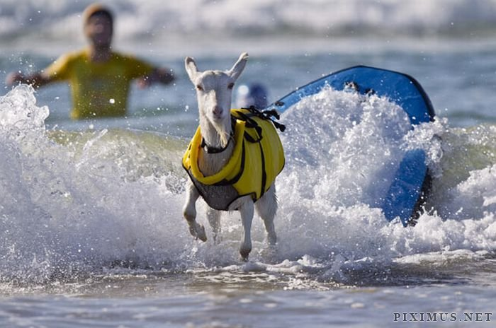 The Surfing Goat