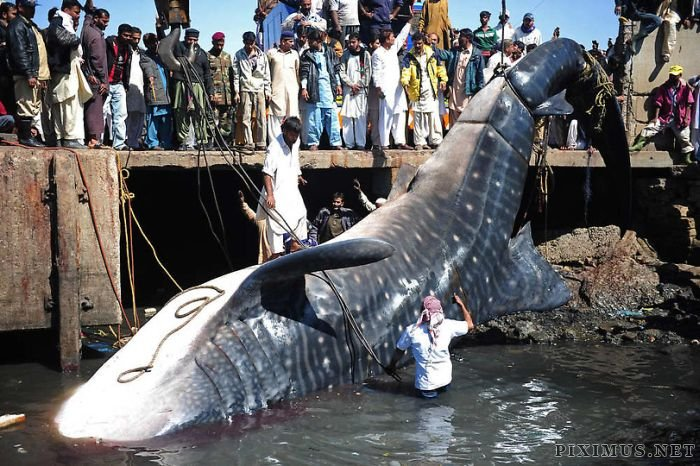 Giant Whale Shark Caught in Pakistan