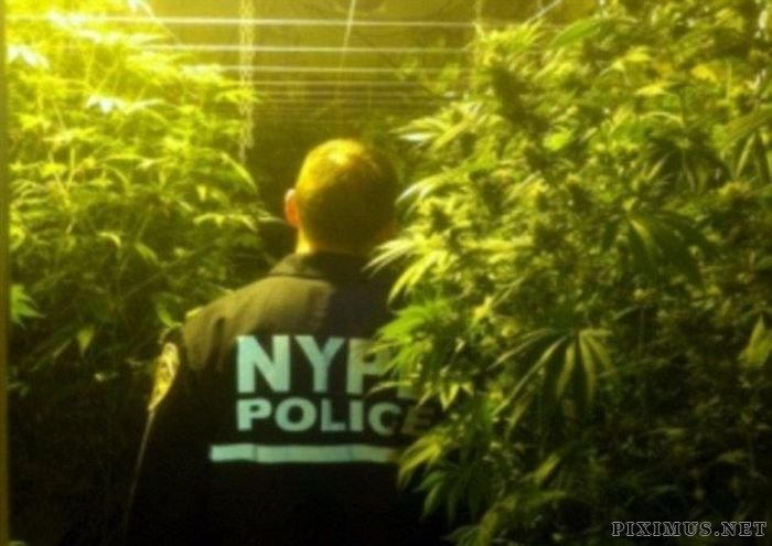 Marijuana Plantation in Bronx