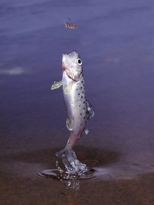 How Trout Catches Its Prey