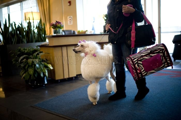 One Poodle's Westminster Journey, With Entourage