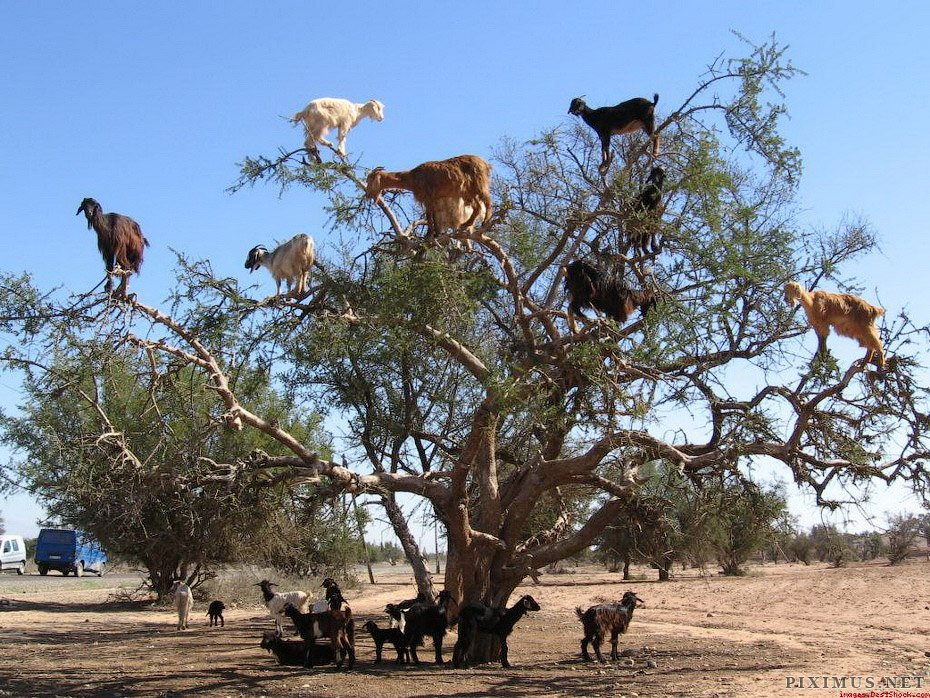 Goats on trees in Morocco
