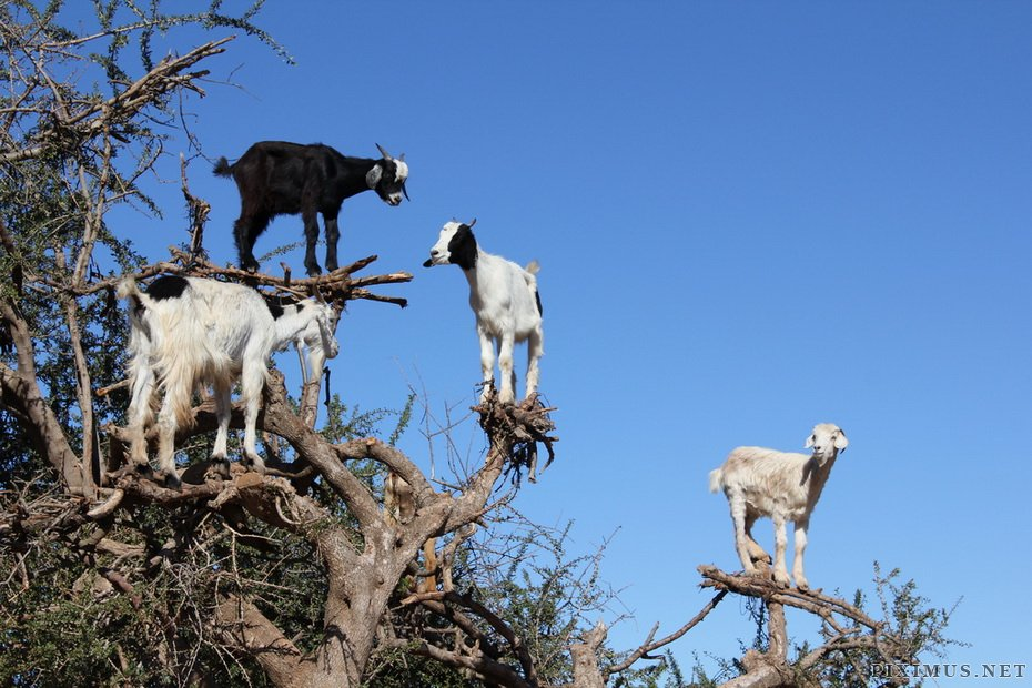 Funny Pictures Of Goats Goats on trees in Moro...