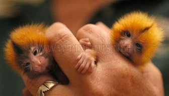 Tiny cute monkeys