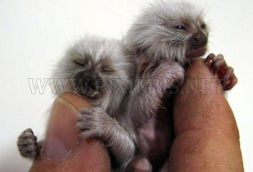 Tiny cute monkeys