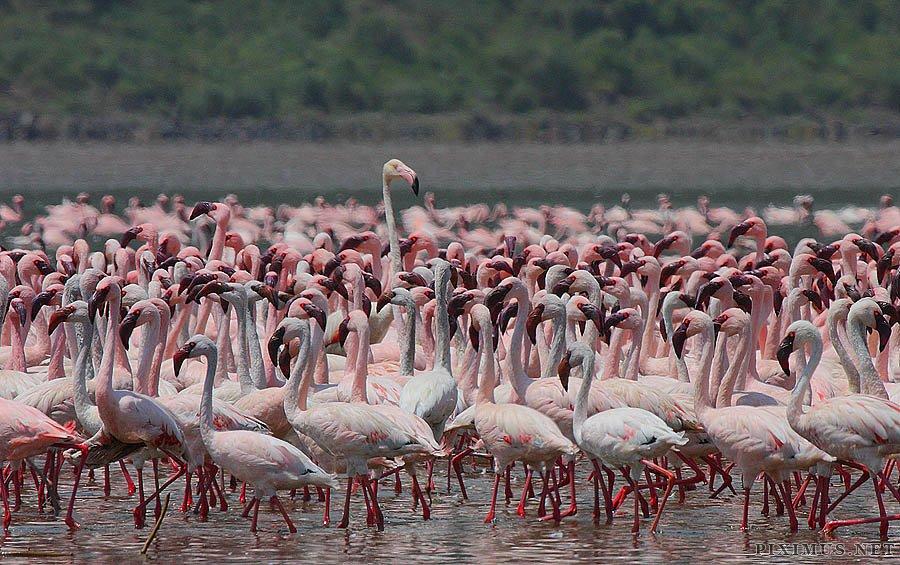 Millions of pink flamingos