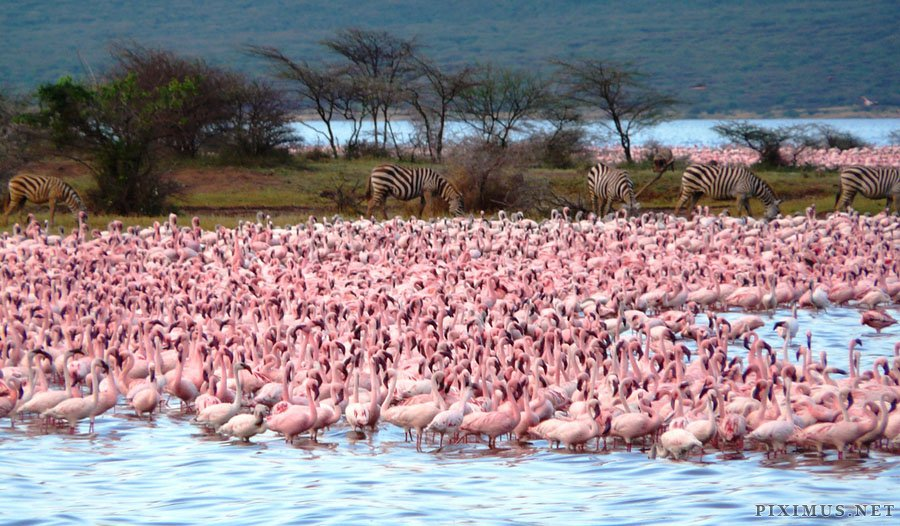 Millions of pink flamingos