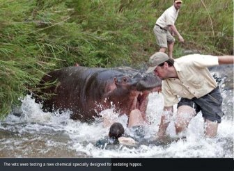 Hippo Almost Killed a Vet