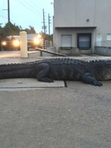 Alligator Hunter Meets Her Match When She Takes On This 800 Pound Reptile