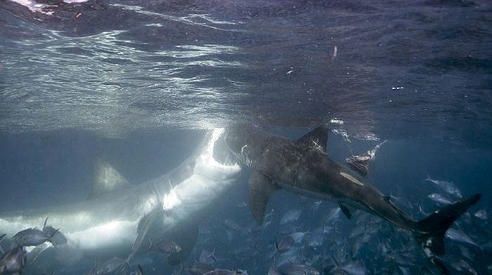 Photographer Captures Intense Battle Between Two Violent Sharks