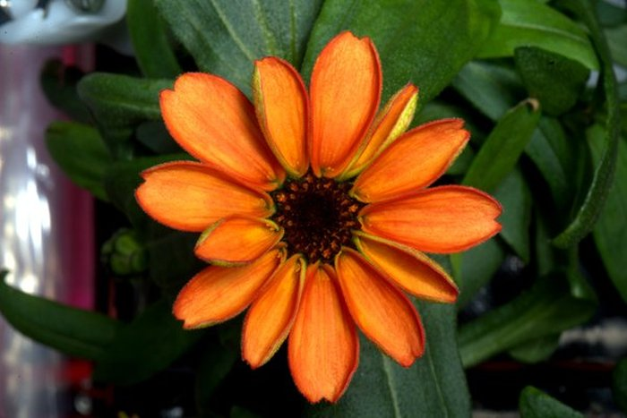 Astronaut Grows First Flower On The International Space Station