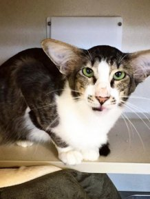 The Kylo Ren Cat Has Finally Been Adopted