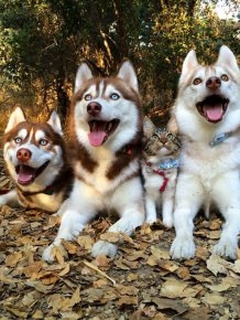 Huskies Become Best Friends With A Cat