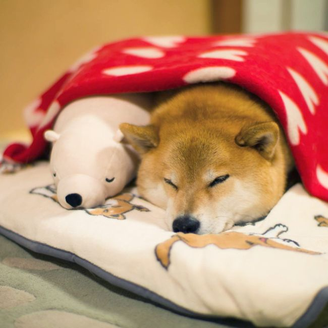 Shiba Inu Loves To Emulate His Favorite Plush Toy