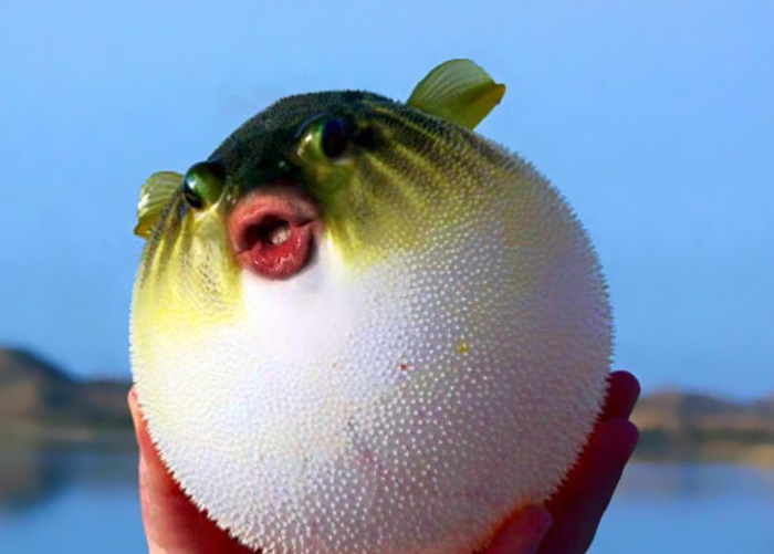 It Turns Out That Donald Trump's Mouth Fits Perfectly On Pufferfish