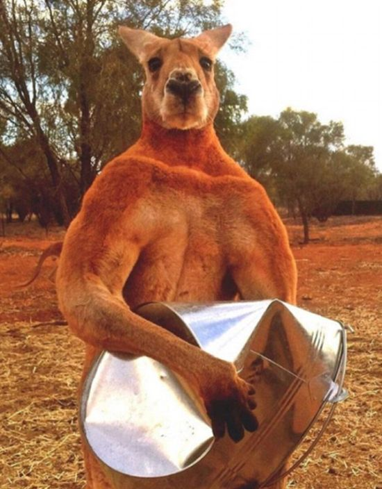 Meet Roger, The Most Muscular Kangaroo On The Planet