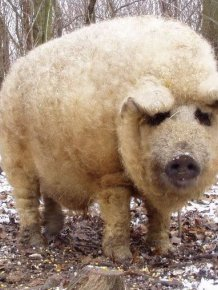 These Fuzzy Creatures Look More Like Sheep Than Pigs
