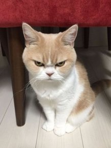The Japanese Grumpy Cat Is Even More Miserable Than The Original