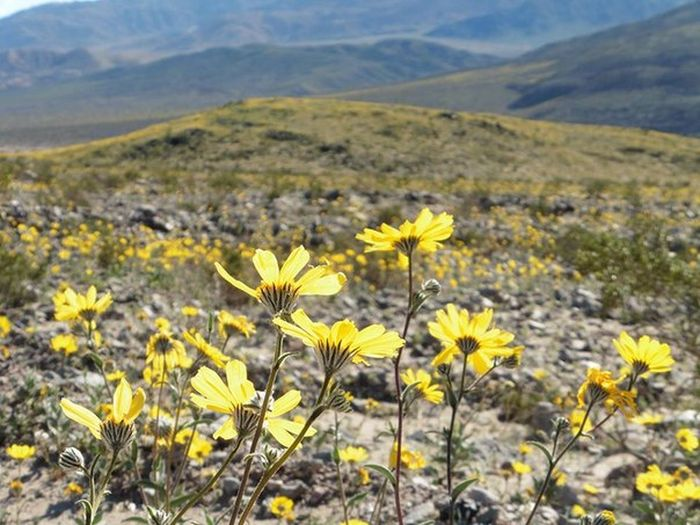 Death Valley Is Home To Some Of The Most Beautiful Flowers