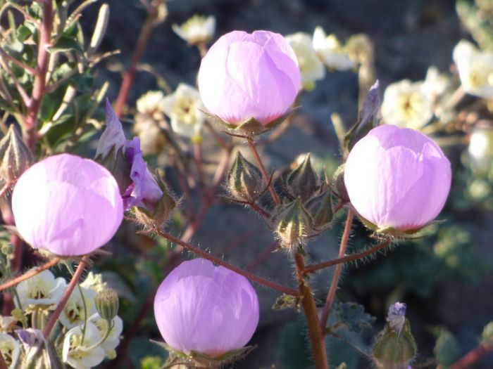 Death Valley Is Home To Some Of The Most Beautiful Flowers | Others