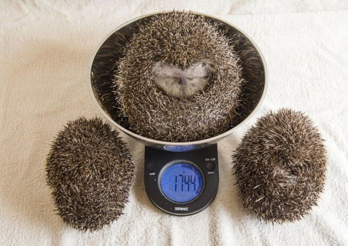 This Overweight Hedgehog Had To Be Put On A Diet