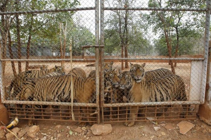 Thailand Has Its Very Own Tiger Temple
