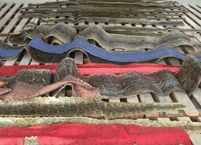 Chinese Authorities Bust Smugglers Trying To Move 25,000 Python Skins