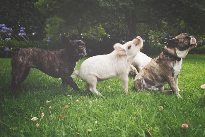 A Cute Pig Grew Up With Three Dogs And Now She Thinks She's One Of Them