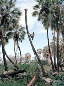 Production of palm wine in Africa