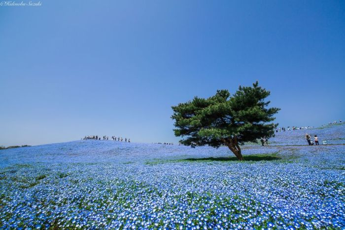 Millions Of Flowers Have Bloomed In Japan's Hitachi Seaside Park