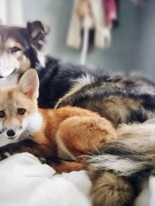 A Pet Fox And A Dog Have Formed A Wonderful Friendship
