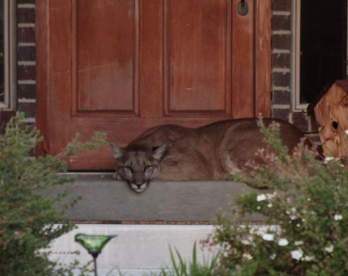 Front Door Step cougar gets caught taking a nap on the front doorstep | animals
