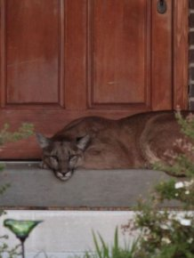 Cougar Gets Caught Taking A Nap On The Front Doorstep