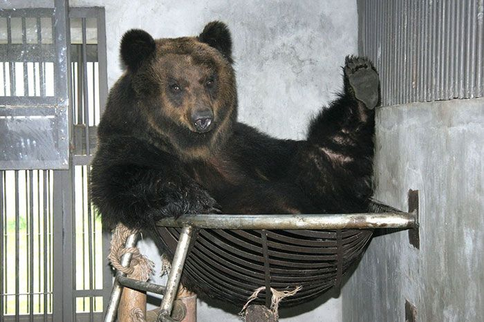 Bear Finally Gets Free From Uncomforatble Metal Vest