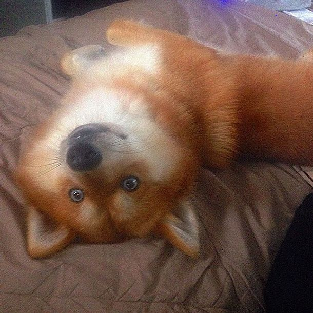 Fox Dog Is Taking The Internet By Storm