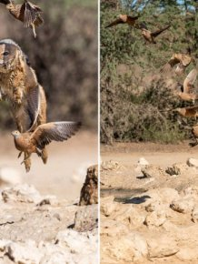Vicious Jackals Hunt Birds In The Wild