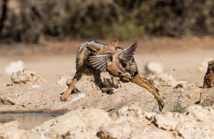 Vicious Jackals Hunt Birds In The Wild