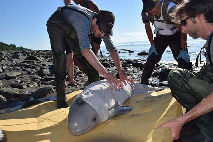 Newborn Baby Whale Saved By Kids In Canada