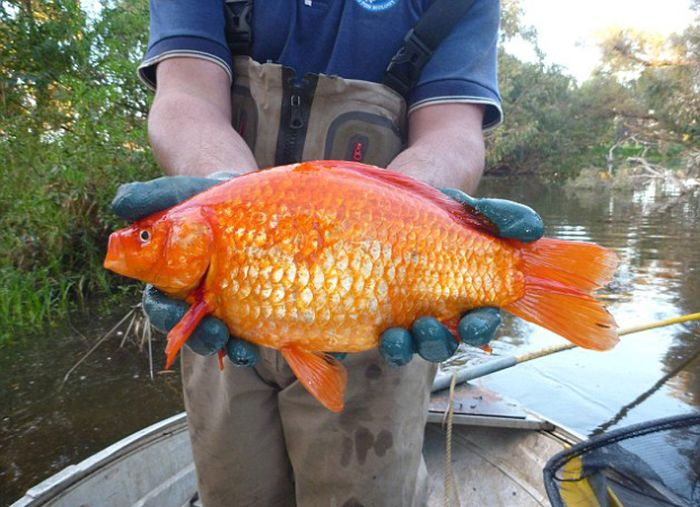 What Happens To Goldfish If You Dump Them In A River