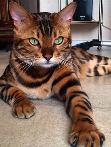 This Bengal Cat Named Thor Has Perfect Fur