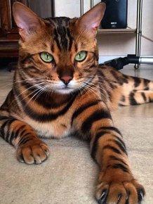 This Bengal Cat Named Thor Has Perfect Fur