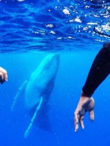 Humpback Whale Photobombs Swimmers In Tonga