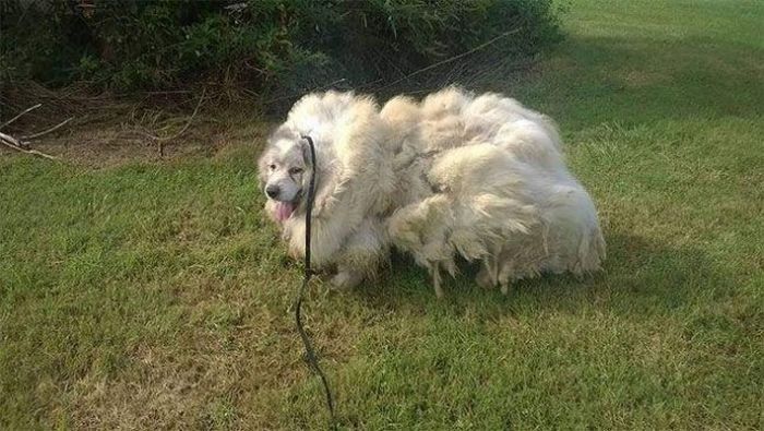 Dog Found Trapped in Barn Gets The Haircut It Deserves