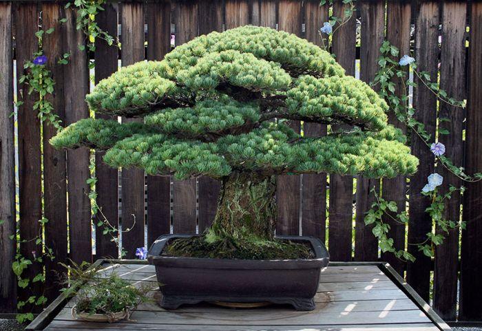 This 391 Year Old Bonsai Tree Survived Hiroshima
