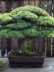 This 391 Year Old Bonsai Tree Survived Hiroshima