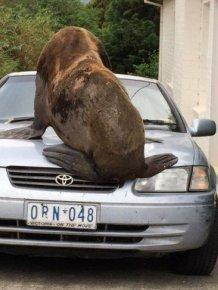 Seal Crushes A Parked Car